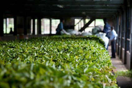 grüner tee Herstellung